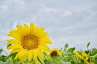 黄色い花のクローズアップの写真・画像素材[2366493]