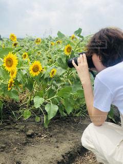向日葵撮影の写真・画像素材[2366502]