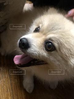 カメラを見ている茶色と白の犬の写真・画像素材[2384551]