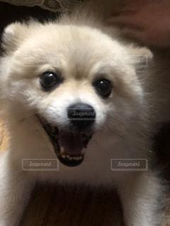 カメラを見ている小さな白い犬の写真・画像素材[2384552]