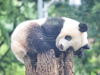 パンダのクマの写真・画像素材[1247355]