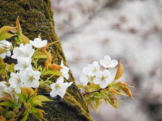 桜の写真・画像素材[1870381]