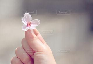 桜ひとひらの写真・画像素材[2079735]