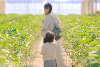 イチゴ畑にての写真・画像素材[2081624]