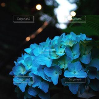 紫陽花の出迎えの写真・画像素材[2079952]