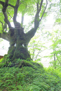 御神木の写真・画像素材[2080705]
