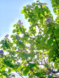 透けるような葉の写真・画像素材[2083079]
