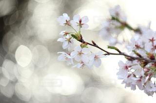 桜を讃える水面の写真・画像素材[2105897]
