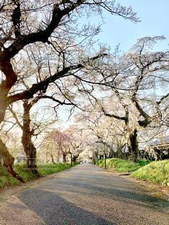 枝垂れ桜の写真・画像素材[2109598]