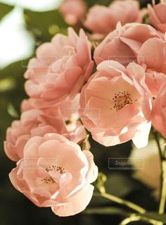 ピンクのバラの写真・画像素材[2121894]