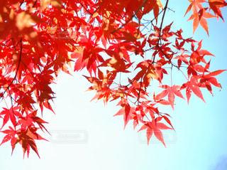 光に透けるモミジの葉の写真・画像素材[2088232]