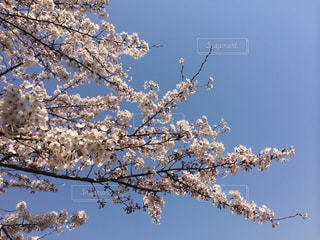 青空に桜の花の写真・画像素材[2110850]