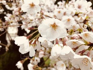 桜の写真・画像素材[2120740]