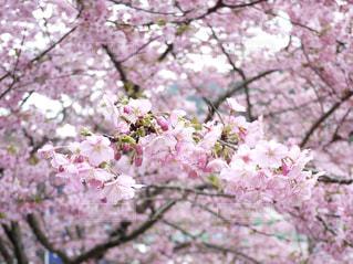 桜の花とツボミの写真・画像素材[2120754]