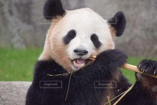 笹食べパンダの写真・画像素材[2081428]