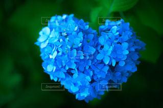 ハートの紫陽花の写真・画像素材[2222266]