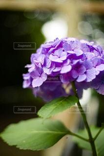 紫陽花の写真・画像素材[2241277]