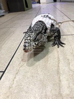 ハーネス着けたトカゲの写真・画像素材[2084220]