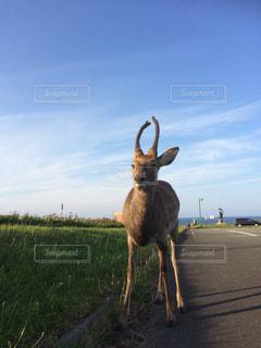 芝生に覆われた野原の横に立っている野生の鹿の写真・画像素材[2086938]