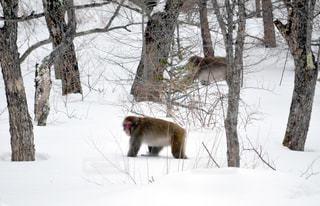 雪の中餌を探して歩いている猿の写真・画像素材[2113267]