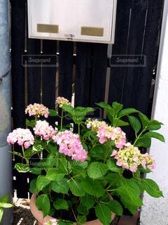 郵便受けとあじさいの花の写真・画像素材[2175540]
