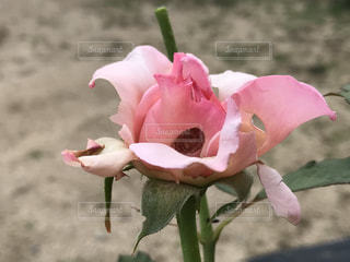 花の写真・画像素材[599217]
