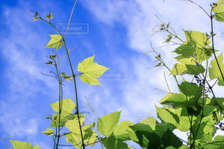 デラウェアの木と青空の写真・画像素材[2096627]