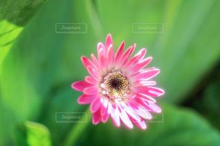 ピンクのガーベラの写真・画像素材[2100904]