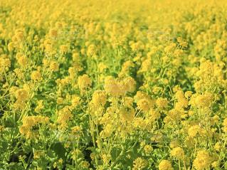 菜の花畑の写真・画像素材[2114259]