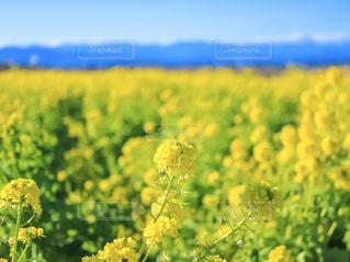 満開の菜の花畑の写真・画像素材[2114281]