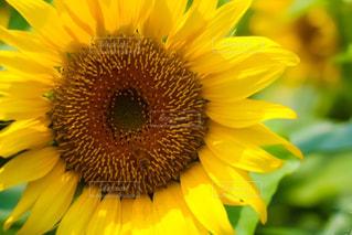 向日葵の写真・画像素材[2115539]