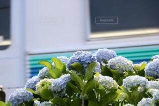 電車と紫陽花の写真・画像素材[2185975]