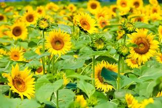 太陽の下で元気よく咲く向日葵の写真・画像素材[2186460]