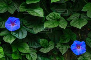 野朝顔のグリーンカーテンの写真・画像素材[2239817]