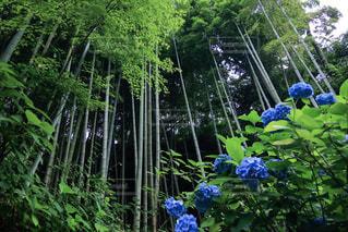 明月院の紫陽花と竹林の写真・画像素材[2252115]