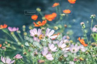 川沿いに咲いていた秋桜の写真・画像素材[2351764]
