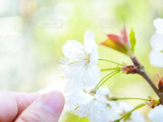 サクランボの花の写真・画像素材[2368873]