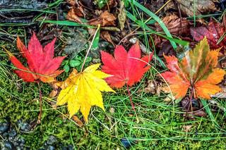 雨上がりの紅葉の写真・画像素材[2403672]