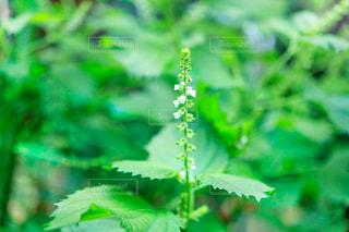 青ジソの花の写真・画像素材[2447341]