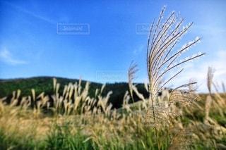 キラキラした仙石原のススキの写真・画像素材[2492100]