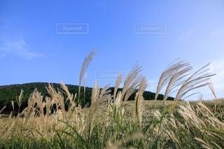 風に吹かれたススキの写真・画像素材[2492208]