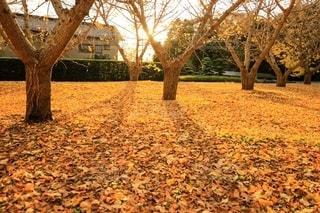 夕暮れどきと銀杏の絨毯の写真・画像素材[2781384]