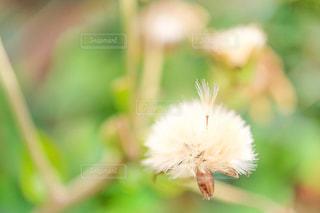 ツワブキの綿毛の写真・画像素材[2876788]
