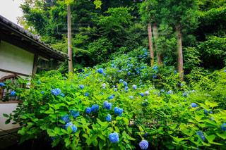 明月院の紫陽花の写真・画像素材[3166345]