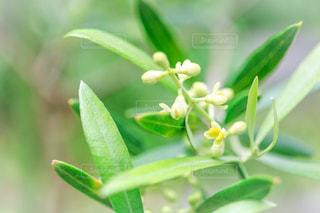 オリーブの花の写真・画像素材[3220694]