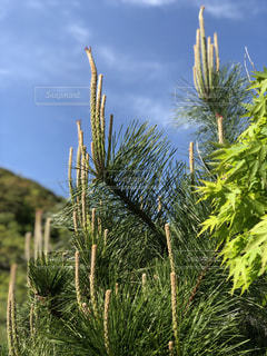 松の木の新芽と青空の写真・画像素材[2089517]