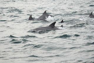 イルカの写真・画像素材[2089157]
