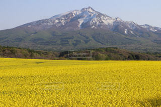 鯵ヶ沢町山田野地区の菜の花畑と岩木山の写真・画像素材[2112644]