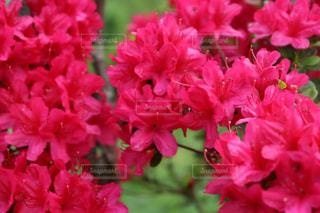 大鰐温泉茶臼山つつじ祭の赤とピンクのつつじの写真・画像素材[2133103]