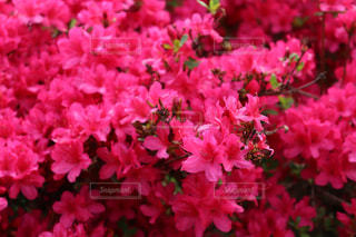 大鰐温泉茶臼山つつじ祭の赤ピンクのつつじ達の写真・画像素材[2133120]